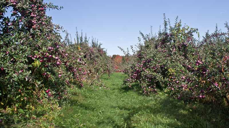 alley of apple orchard, The Apple Farm, Fairfield, Maine in autumn