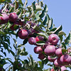 a branch of apples about to be harvested, The Apple Farm, Fairfield, Maine, October, big, juicy red ones, probably Macintosh
