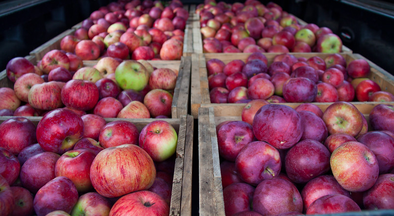 Bushel crates of apples in the back of my husband's truck after picking, The Apple Farm, Fairfield, Maine, October. We had 29 of these crates in the end. That's a lot of apples!