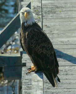Bald eagles abound and are seen daily. This bird was perched on the railing of the pier! A birding paradise, 162 species of birds have been logged here. Osprey, eagles and seals are a daily delight.