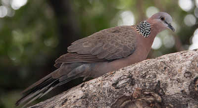 Spotted Dove, also called a Lace Collared Dove, Laced-Necked dove, Pearl Necked Dove or Mountain Dove, is native to India and South East Asia. They are plentiful on Maui and can be heard cooing everywhere. Lahaina Maui