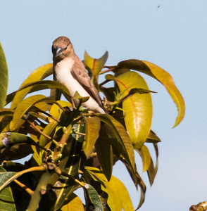 Known in the pet trade as Nutmeg manikins, these birds are common on all main Hawaiian islands from sea level to the mountains and alpine regions (on the Big Island). They are native to Southeast Asia and were introduced to Hawaii around 1865. They are also known as Spotted Munia, Spice Finch or Ricebird.