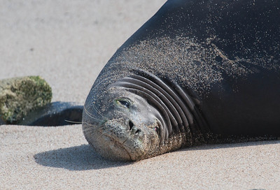 "Critically endangered and rare Monk Seal, Ho'okipa Beach Park, Maui. There are fewer than 1000 of these marine mammals left. The Hawaiian monk seal, Monachus schauinslandi, is an endangered species of earless seal. Hawaiian monk seal is one of two remaining monk seal species. Known to  Hawaiians as ʻIlio-holo-i-ka-uaua, or  ""dog that runs in rough water"",   it is the only seal native to Hawaii. Over hunting, entanglement in fishing gear or other marine debri and human encroachment on habitat have nearly resulted in extinction of this species. Adults weigh up to 400 pounds. They spend two thirds of their lives at sea.  it is the only seal native to Hawaii. Over hunting, entanglement in fishing gear or other marine debri and human encroachment on habitat have nearly resulted in extinction of this species. Adults weigh up to 400 pounds. They spend two thirds of their lives at sea."