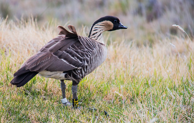 The Ne Ne is a species of endemic goose, that is only found in Hawaii. These were on Maui near the summit of Haleakala' Volcano.