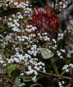 Clouded Sulphur butterfly feeding on flowers in the Kula Botanical Gardens, Kula Maui, February