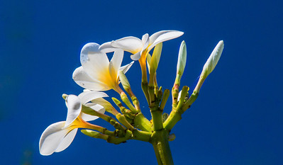 Plumeria, the tradtional flower of the Lei in Hawaii, Maui. This was photographed in Pukalani. I have been told that plumeria flowers have distinct frangrances and intensity of frangrance depending on where they are grown. Hanna plumeria are reported to be the best.