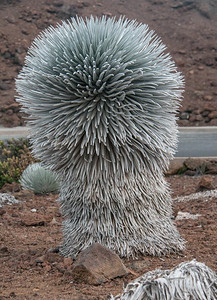 "The Haleakalā silversword (Argyroxiphium sandwicense subsp. macrocephalum) is a rare plant, part of the daisy family Asteraceae. The silversword in general is referred to as ʻāhinahina in Hawaiian (literally, ""very gray"" ). It is an endangered species. The roots are shallow, growing in volcanic cynders, and very sensitive to being stepped on or around. The plant lives to about 50 years. When mature at about 1 1/2 to 2 feet across, it shoots out a 6 foot tall flower stock covered with maroon flowers. After going to seed the plant dies. Wild goats, introduced Axis deer and grazing cattle nearly wiped it out before the park service fenced them out."