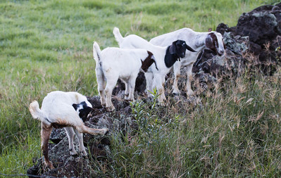 Goat with three kids, Kula Maui. Goats are a problem in Maui. They  now roam wild and are very destructive to native flora. They are legally hunted for this reason.
