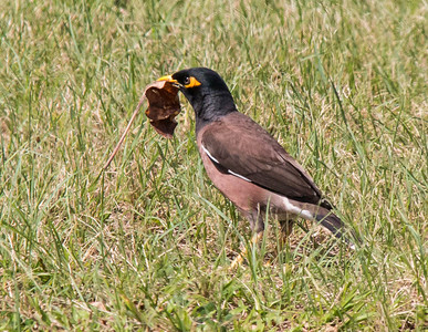 Myna Birds are not native to Hawai'i. They are very common. This one has a leaf, probably for its nest.