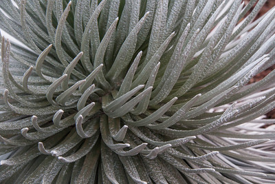 "The Haleakalā Silversword (Argyroxiphium sandwicense subsp. macrocephalum) is a rare plant, part of the daisy family Asteraceae. The Silversword in general is referred to as ʻāhinahina in Hawaiian (literally, ""very gray"").   It is an endangered species. The roots are shallow, growing in volcanic cynders, and very sensitive to being stepped on or around. The plant lives to about 50 years. When mature at about 1 1/2 to 2 feet across, it shoots out a 6 foot tall flower stock covered with maroon flowers. After going to seed the plant dies. Wild goats, introduced Axis deer and grazing cattle nearly wiped it out before the park service fenced them out."