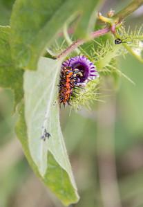 Gulf Fritillary butterfly larvae on Passion Flower vine and spent flower (purple), Kipahulu, Maui