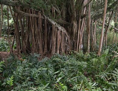 Banyan tree roots with ferns, Haleakala National Park, south east, Maui