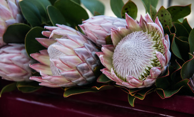 King proteas are the largest of this South African native. They thrive on Maui. Anywhere that cut flowers are sold, there will be proteas. There are many species.