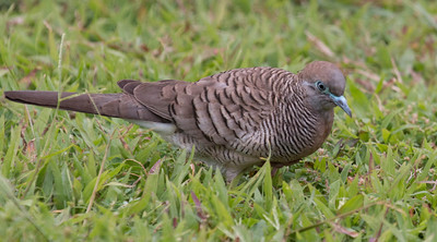 Zebra Doves, also called Peaceful Doves or  Barred Ground Doves, are plentiful in Maui. The origin of this bird is unknown, that it is not native to Hawai'i. It is believed to have orginated in Indonesia, probably Singapore. They are a small dove and well adapted to urban and rural Hawai'i.