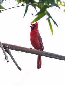 Male, Northern Cardinal, Kula Maui Hawai'i. Cardinals are common in Hawai'i, though not native.