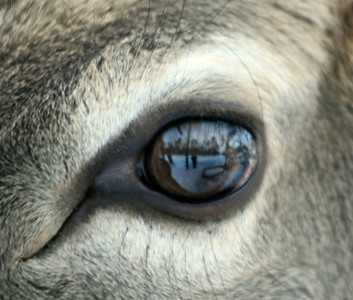 eye of a deer close up, Jefferson, Maine