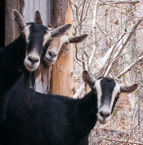 goat trio looking out from barn, Phippsburg, Maine