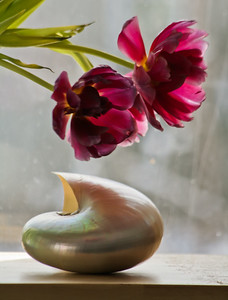 shell with dying tulip petals in morning sun