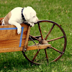 Pit bull puppy trying to get out an antique, child's wheelbarrow. Cute! This would make a sweet card.