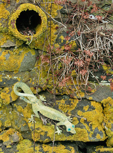 gecko on stone wall in Popham Village, Phippsburg, Maine. Geckos don't live here unless they are in a cage. This was a joke. Pretty funny! I loved the orange lichen