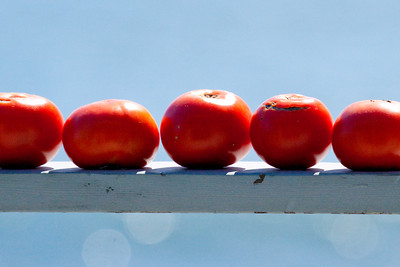 Tomatoes, five in a row, Phippsburg Maine
