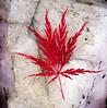 Japanese Maple Leaf On Rose Quartz