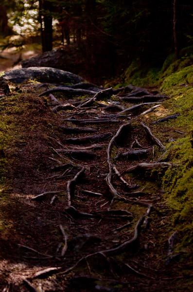 Woodland walkway with tree roots and moss, Monhegan Island, Maine, Ribbon Trail, scenic