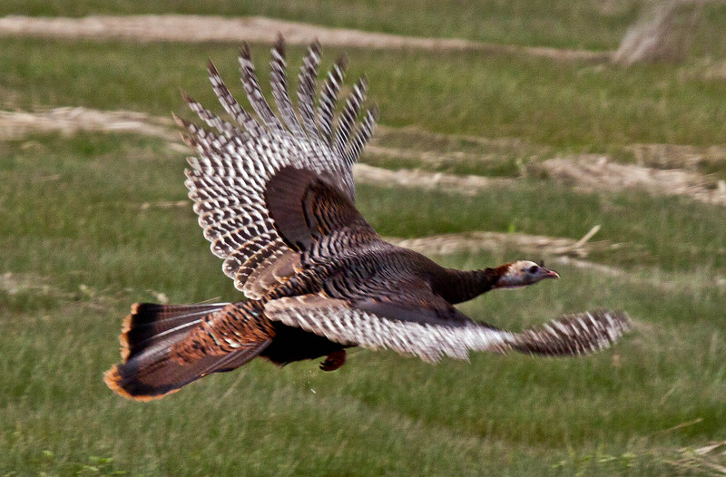 Wild turkey in flight, right facing, Atkins Bay Marsh, Phippsburg Maine