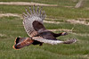 Wild turkey in flight, right facing, Atkins Bay Marsh, Phippsburg Maine