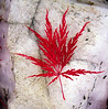 Japanese maple leaf on rose quartz