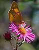 Orange Sulphur butterfly on aster, Alma Potchke Phippsburg Maine