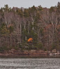 Single orange fall maple tree on shore of Totman Cove, autumn, Phippsburg Maine
