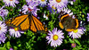 Monarch and Red Admiral butterflies in New England Asters Phippsburg Maine