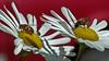 Hover Flies on Montauk daisies Phippsburg Maine