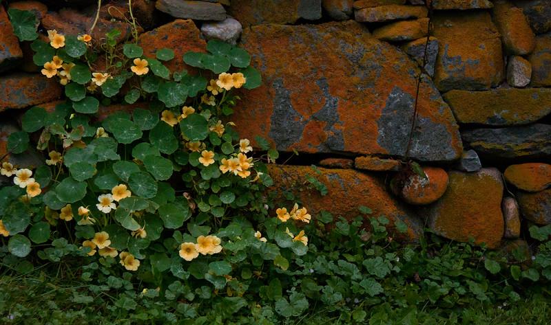 Nasturtiums and lichen, Monhegan, Maine