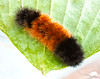 Wooly Bear caterpillar. This is the caterpillar of the Isabella Tiger Moth. It overwinters in Maine as a caterpillar often times freezing solid to wake up in the spring. The band in the middle gets wider as the caterpillar eats more and ages over the summer. Band width is not a predictor of how severe the upcoming winter will be, just the age of the caterpillar. That's an old wive's tale. This caterpillar is pretty advanced in age and is looking for a place to curl up and spend the winter. Photo taken in Phippsburg Maine in September