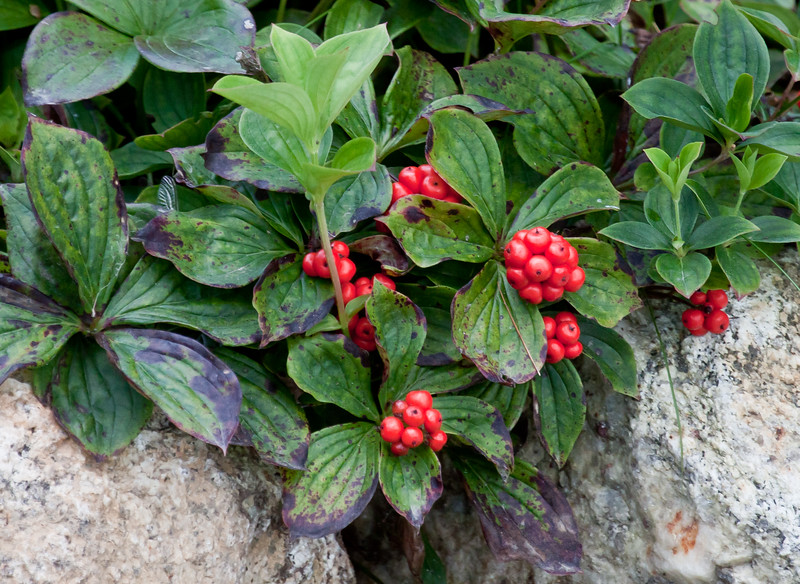 Bunchberry is the berrying phase of Cornus Canadensis, an indigenous Dogwood flower, Maine, fall