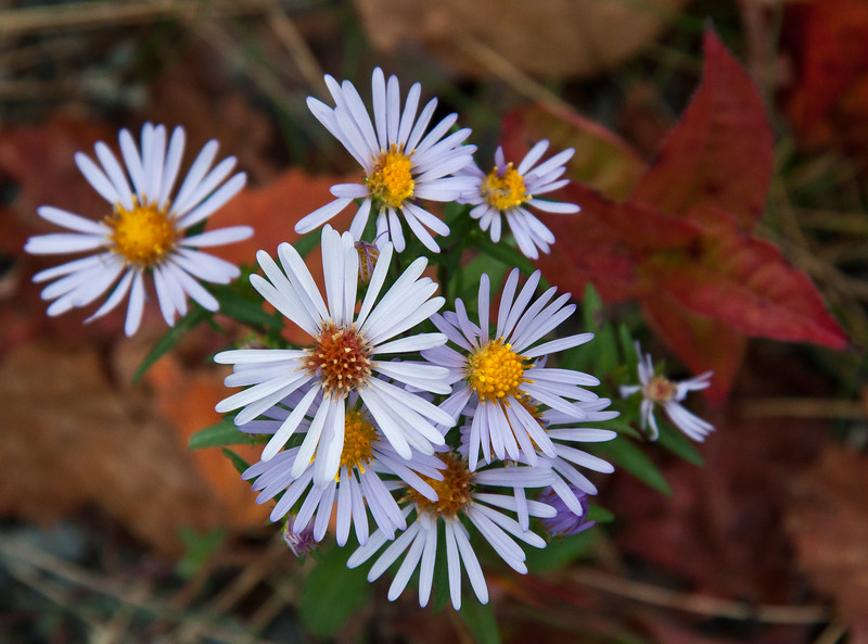 Late Purple Aster, Aster symphyotrichum patens, a common, indigenous wildflower in Maine. It's an important late season food source for migrating butterflies and birds. Photo taken at Acadia National Park, Mount Desert Island, Maine in September