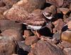 Semi-palmated Plover, Phippsburg Maine
