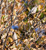 Evening grosbeaks, females, two perched in Birch trees, Phippsburg Maine, October