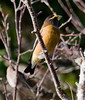 Evening Grosbeak, male perched in Birch tree, Phippsburg Maine, October