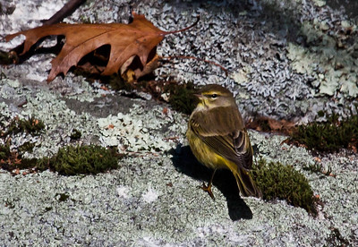 Late Palm Warbler, November 5, 2011, Phippsburg, Maine. Palm Warblers are migratory in Maine..  Dendroica palmarum, Palm warblers are migratory Wood-warblers in Maine