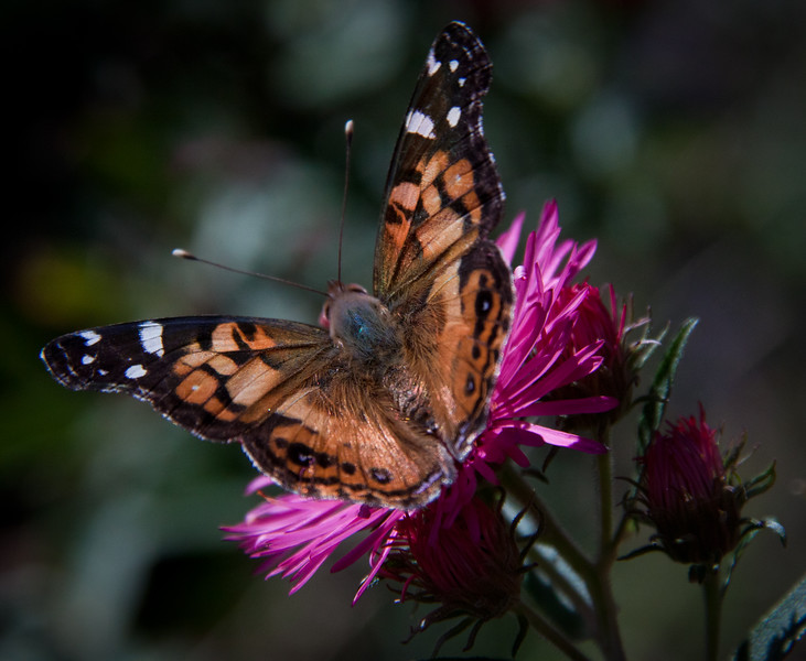 Painted Lady butterfly, doral view, on aster, Alma Potchke, Phippsburg Maine