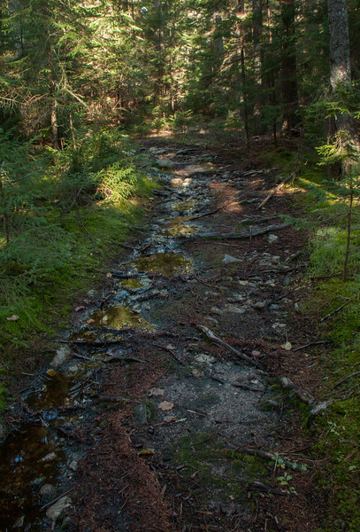 woodland path to Robinson's Rock, also known as The Bumper, Phippsburg Maine. Decades of foot traffic have passed over the roots of nearby trees. Rushing water from rain and melting snow and ice have helped to wear this path. This is a classic forest scene in Maine.