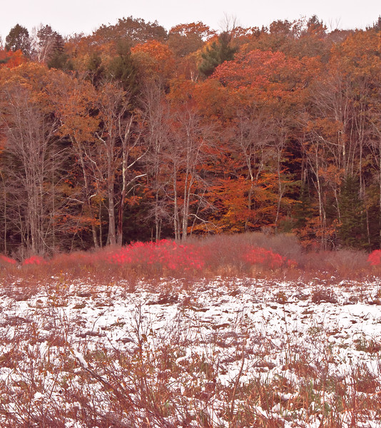 Ashdale Marsh, Phippsburg Maine, Sagadahoc County, red berries of ilex verticillata, Winterberry with autumn oak leaves and early snow fall frosting it all, a lovely fall scenic image