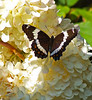 White Admiral butterfly on hydrangea blossoms, late summer, early fall, coastal garden, Phippsburg, Maine