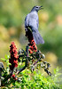 Gray catbird calling from atop Staghorn sumac berries