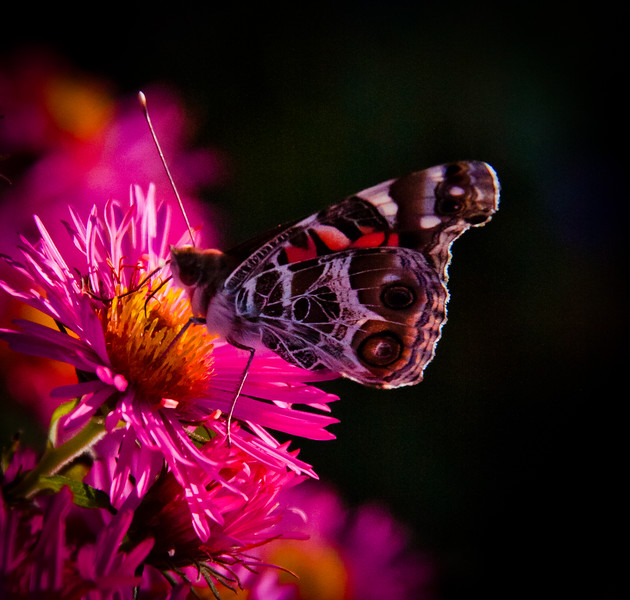 Painted Lady butterfly on asters, Alma Potchke, Phippsburg Maine