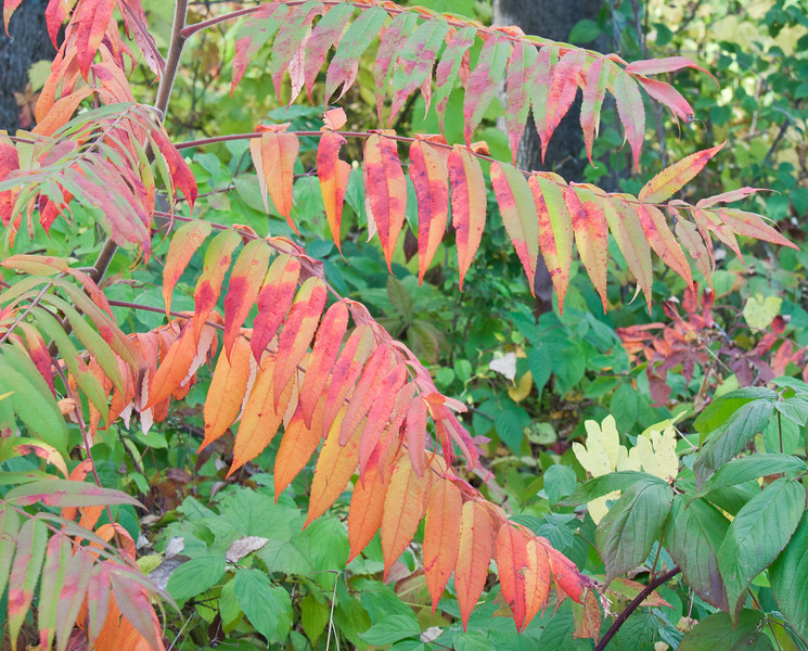 Staghorn sumac leaves in autumn color, Phippsburg Maine, October