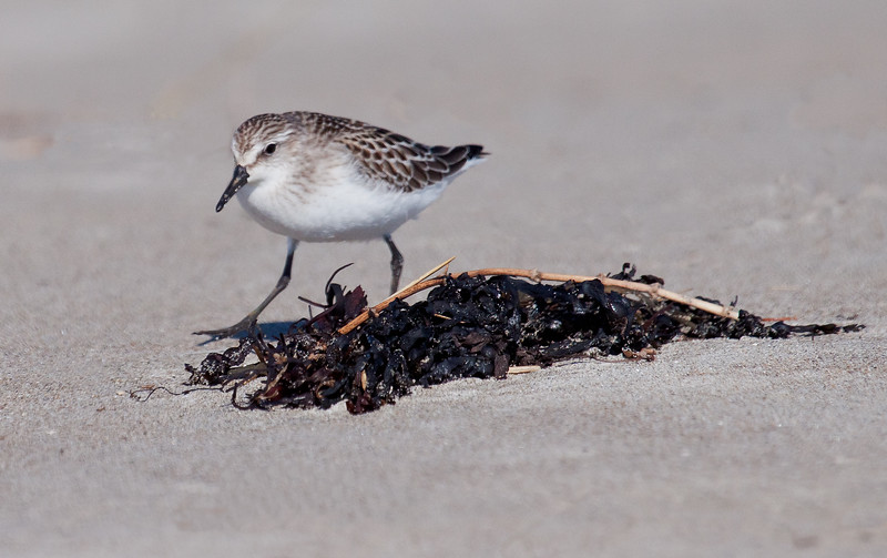 A fall migrating shorebird, Popham Beach State Park Phippsburg Maine, September. Semi-palmated Sandpiper. You can just see the webbing or 'palm' of its toes on the  right foot.